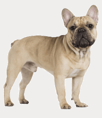 toughjobs digital marketing mascot transparent french bulldog small